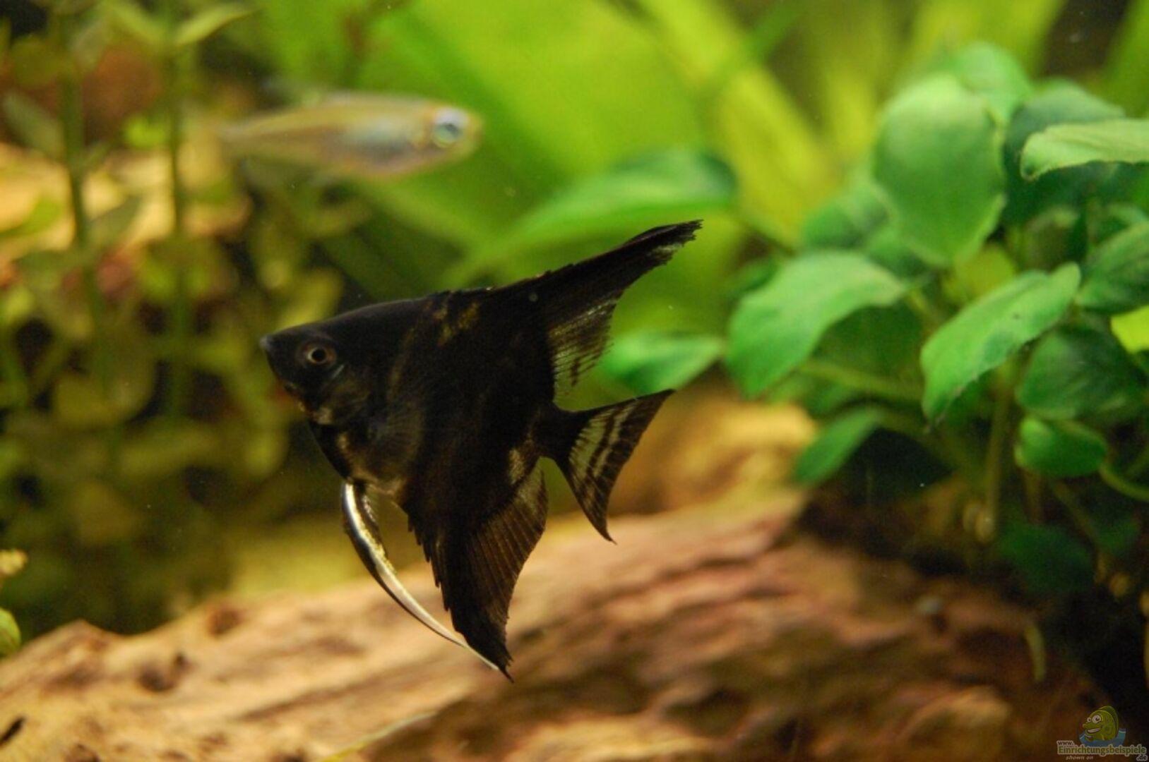 Aquarium von dennis graalmann becken 8087 for Schwarzer skalar