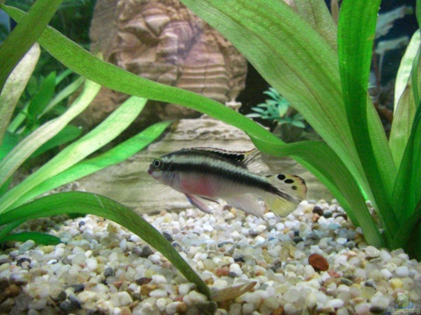 Aquarium von schindlinho becken 8648 for Kampffisch becken