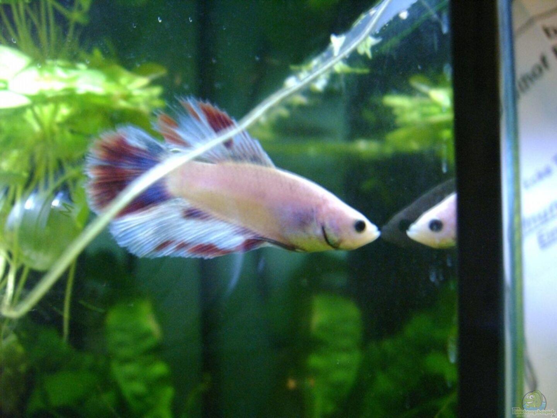 Aquarium von andre meyer becken 8763 for Kampffisch becken