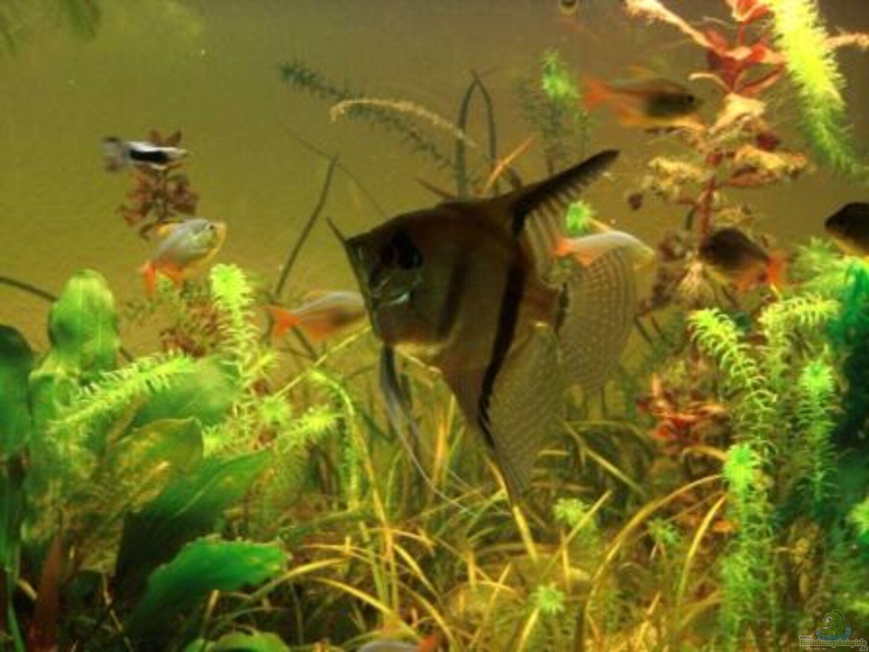 Aquarium von roland gailing becken 9251 for Schwarzer skalar