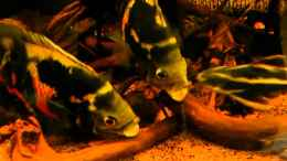 "Video Astronotus sp. ""Bahia Red"" - Trouble in Paradies"