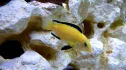 Video Labidochromis caeruleus yellow