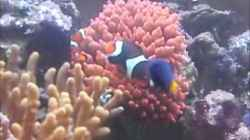 Video Amphiprion + Entacmea