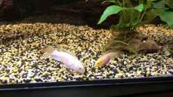 Video Pelvicachromis pulcher ALBINO