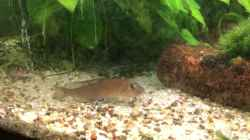 Video Lamprologus (Neolamprologus) kungweensis Jungtiere Fry