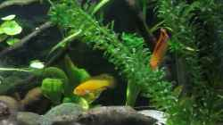 Video Apistogramma agassizii