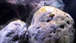 "Video Cynotilapia afra ""cobue"""