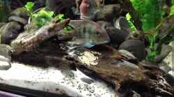 Video Geophagus Red Head breeding Gelege