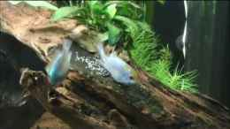 Video Mikrogeophagus Ramirezi - Electric Blue beim Laichen