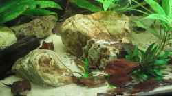 Video Corydoras aeneus black