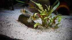 Video Dezember 2019 Mikrogeophagus