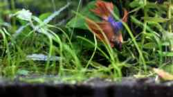"Video Betta ""Carlos"" sucht Tubifex"