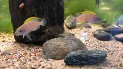 Video Neolamprologus caudopunctatus Family