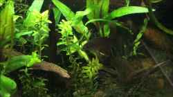 Video Asienbecken Badis ruber
